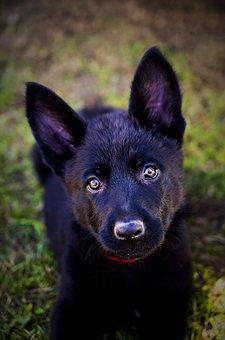 German Shepherd, Puppy, Animal, Dog, Black