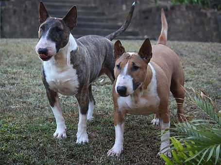 Dog, Bull Terrier, Miniature, Two, Canine, Puppy, Grey