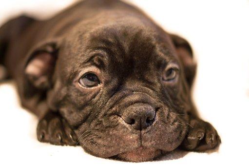 Pup, Bulldog, Canine, Pet, Puppy, Dog, Animal, Breed