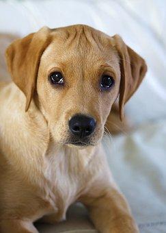 Gundog, Yellow Labrador, Puppy, Dog, Pet