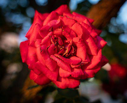 Roses, Rose Flower, Bloom, Red, Romance, Macro
