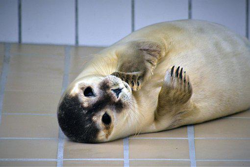 Robbe, Seal, Howler, Baby, Seal Sanctuary
