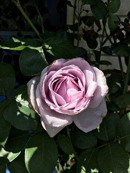Flower, Rose, Plant, Bloom, Purple, Thorns, Shadows