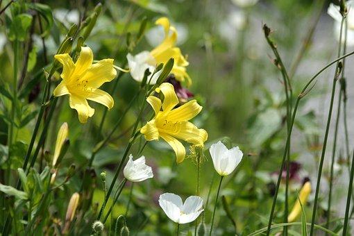 Saranki, Yellow Flowers, Flowers, White Flowers, Maki