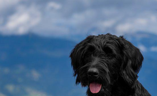 Dog, Pet, Labradoodle, Schnauzer, Riesenschnauzer