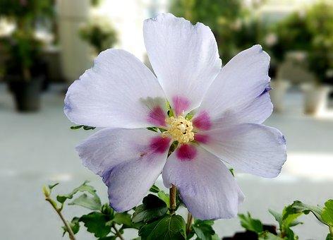 Rose Of Sharon, Stars, White Rose Of Sharon