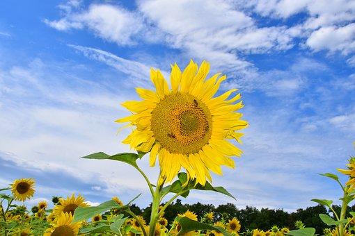 Sunflower, Sunflower Field, Nature, Yellow, Flower