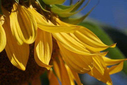 Sunflower, Summer, Yellow, Nature, Flower, Blossom