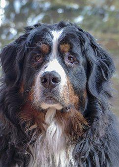 Bernese Mountain Dog, Dog, Canine, Tri-colored
