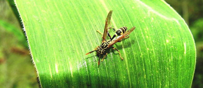 Macro, Insect, Wasp, Sting, Armenia
