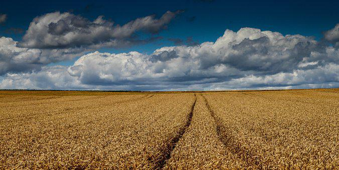 Cornfield, Wheat Field, Harvest