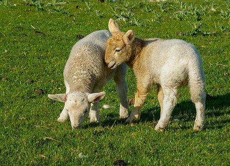 Lambs, Animals, Sheep, Cattle, Nature, Wool, Grass