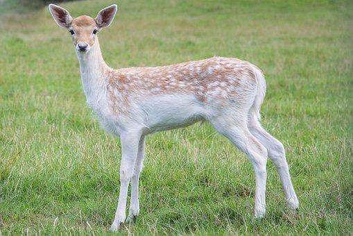Young, Deer, Bambi, Nature, Mammal, Wild, Animal, Fur