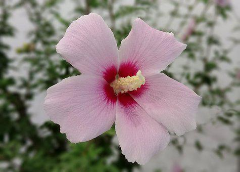 Rose Of Sharon, Zheng Manufacturing, White Flower