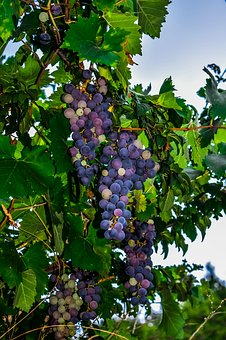 Grapes, Vineyard, Fruit, Nature, Healthy, Agriculture