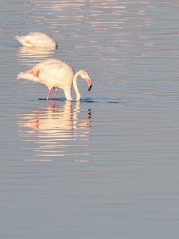 Flamingo, Birds, Pink, Water, Nature, Animals, Lake