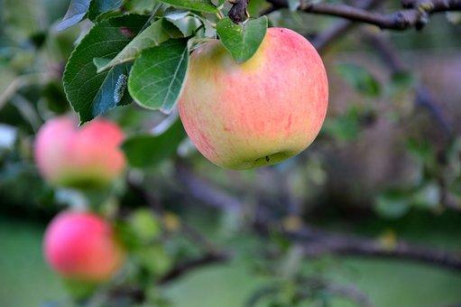 Apple, Fruit, Fruits, Apple Tree, Fruit Tree, Harvest
