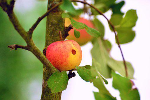 Apple, Worm Hole, Worm Eaten, Apple Tree, Fruit, Garden