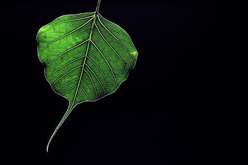 Peepal, Leaf, Green, Sacred Fig, Black, Backlit