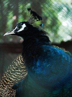 Beak, Beautiful, Eyes, Bird, Blue, Colorful Peacock