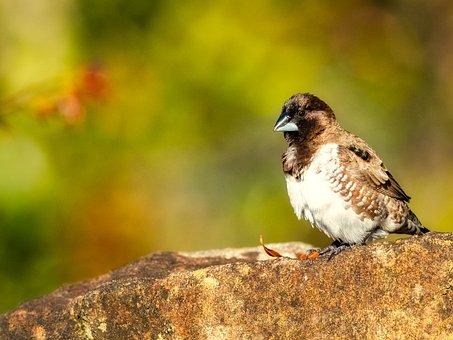 Bronze Mannikin, Bird, Sparrow, Nature, Animal