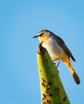 Cape Robin-chat, Bird, Avian, Nature, Wildlife, Animal