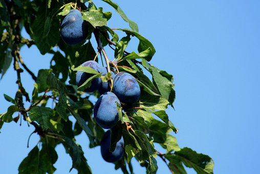 Plum, Fruit, Branch, Mature, Vitamins, Healthy, Violet