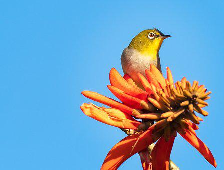 Cape White-eye, Bird, Avian, Nature, Wildlife, Animal