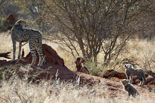 Cheetah, Cheetah Family, Big Cat, Namibia, Africa