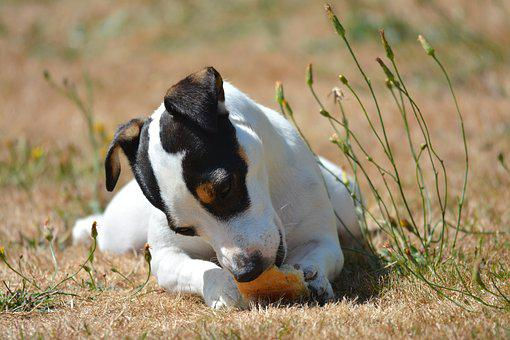 Dog, Animals, Jack Russel, Bread, Terrier, Cute