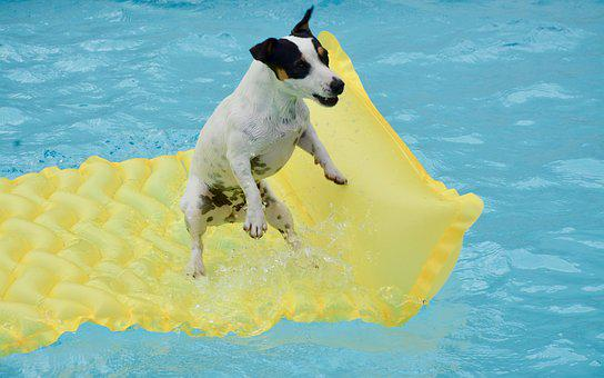 Jack Russel, Swimming Pool, Dog, Mattress Swimming Pool