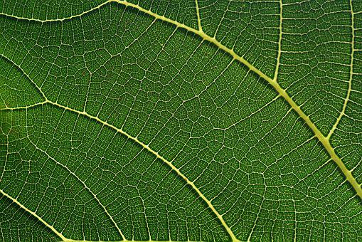 Fig Leaf, Leaf, Green, Close Up, Macro, Mediterranean