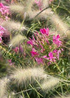 Spider Flower, Grasses, Flower, Pink, Flora, Blossom