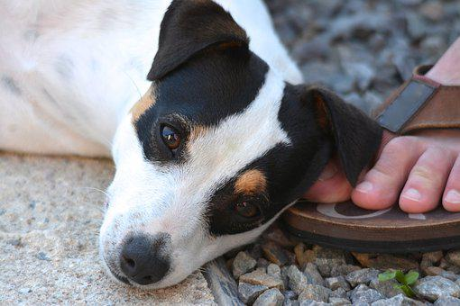 Dog, Jack Russel, Foot, Animals, Look, Cute