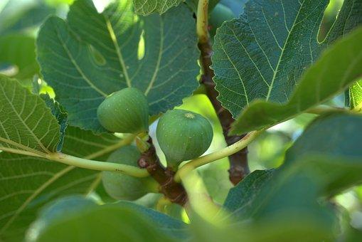 Fig, Leaf, Mediterranean, Fruit, Healthy, Fresh, Sweet