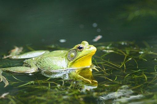 Frog, Pond, Lake, Green, Nature, Water, Amphibian, Toad