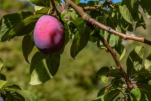Plum, Damson, Fruit, Tree, Nature, Healthy, Agriculture