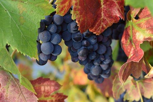 Grapes, Autumn, Fruit, Vineyard, Blue, Letter, Berry