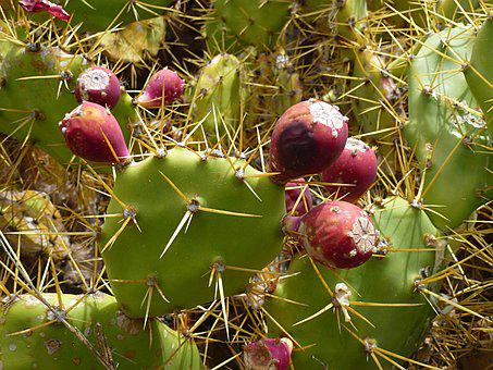Cactus, Cactus Fruit, Prickly, Cactus Greenhouse, Fruit