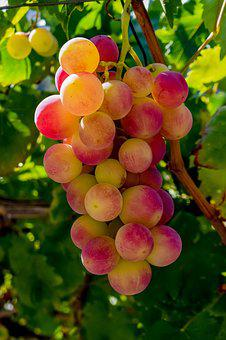 Grape, Vineyard, Fruit, Nature, Healthy, Agriculture