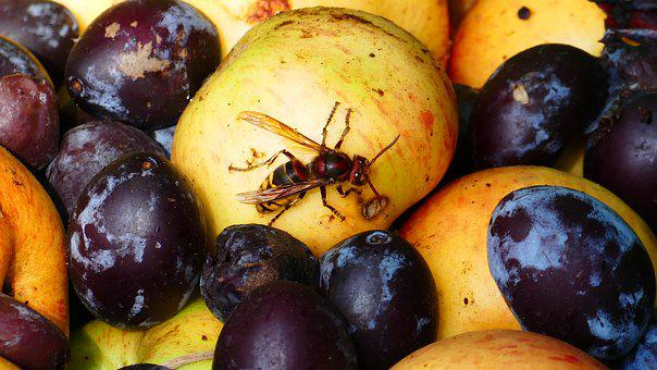Hornet, Insect, Wasp, Yellow, Fruit, Plums