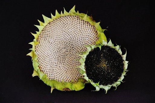 White Sunflower, Black Sunflower, Flower, Grains