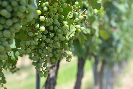 Grape, Vineyard, Vine, Grapevine, Wine Region, Green