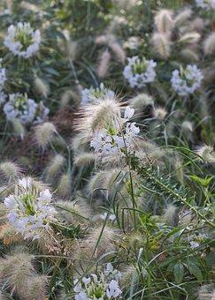 Grasses, Spider Flower, Blossom, Bloom, Bright, Nature