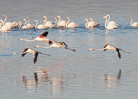 Greater Flamingoes, Flamingos, Flying, Fly, In Flight