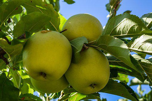 Apples, Green Apples, Fruit, Tree, Nature, Healthy