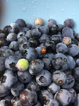 Blueberry, Ladybug, Blue, Itself, Harvest, Pick, Luck