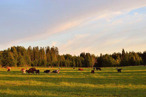Ko, Cows, Landscapes, Bed, Sweden, Calf, Cow, Together