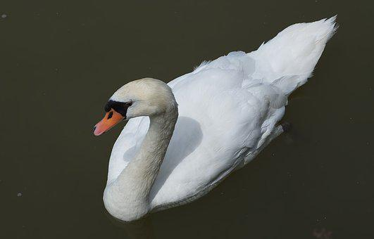 Swan, Water, Animal, Nature, Lake, Bird, Animal World