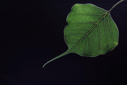 Leaf, Sacred Fig, Peepal, Religious, Green, Black